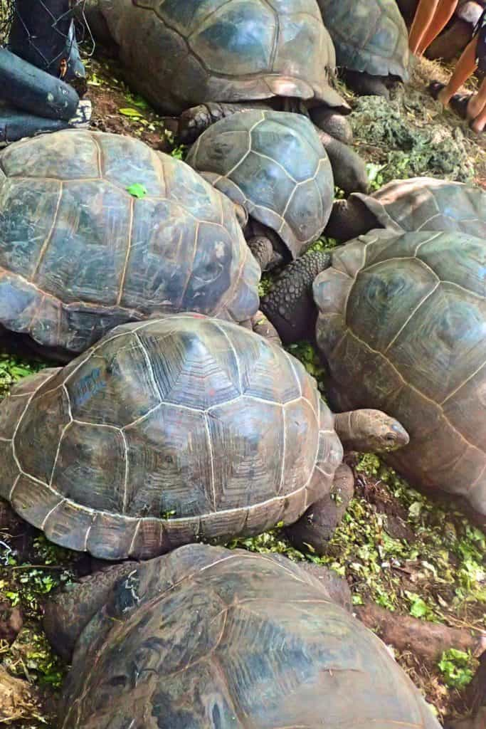 צבים באי האסירים