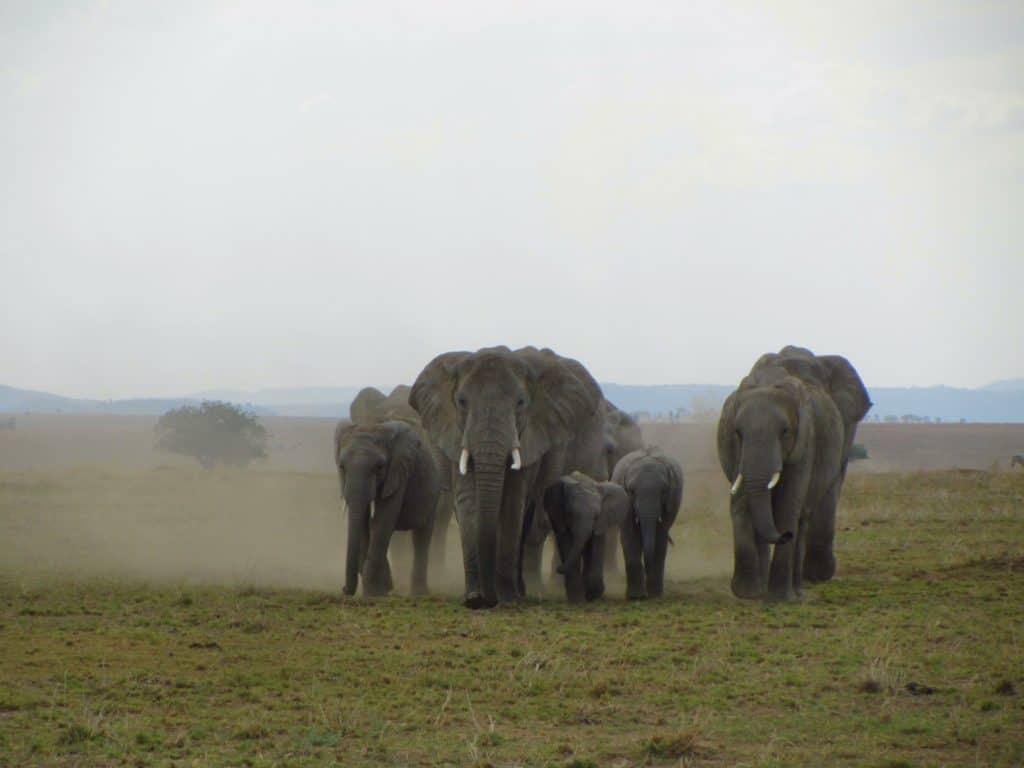 עדר פילים - טיול ספארי בטנזניה
