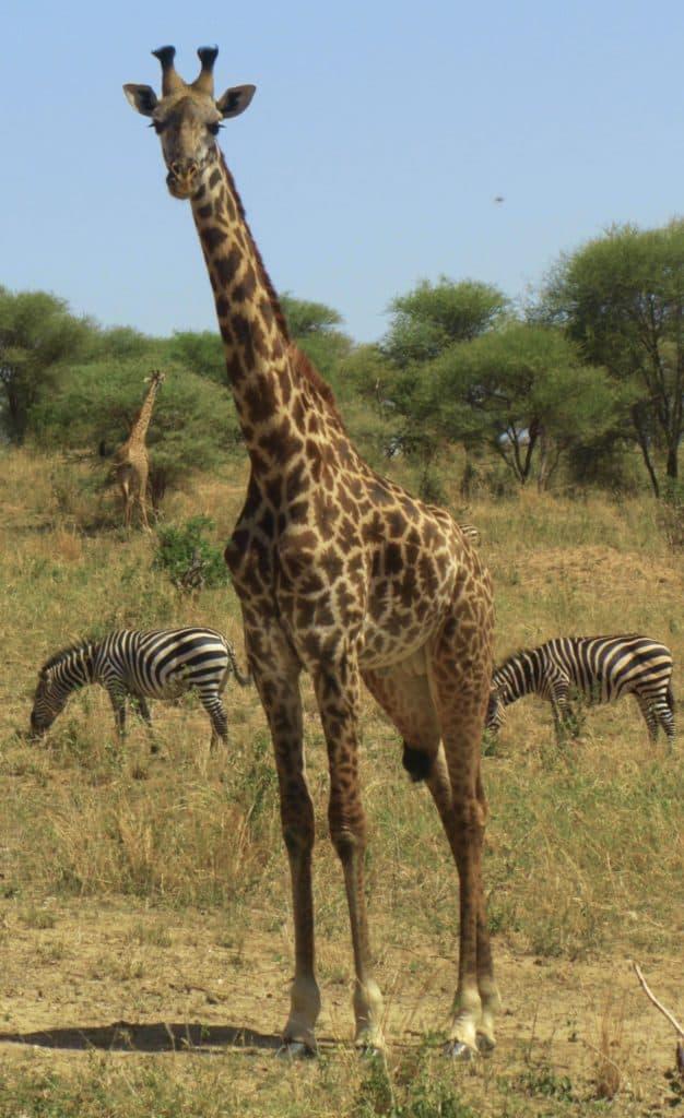 ג׳ירפה בפארק טרנגירי - טיול ספארי בטנזניה