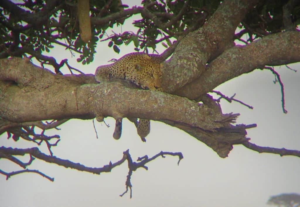 נמר בפארק סרנגטי - טיול ספארי בטנזניה