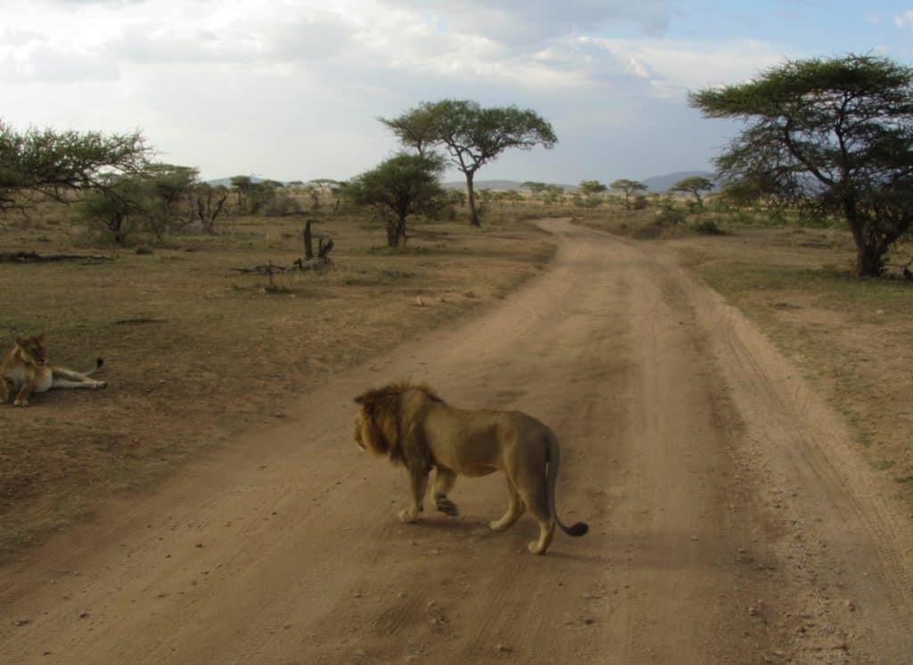 טיול ספארי בטנזניה - אריה חוצה כביש