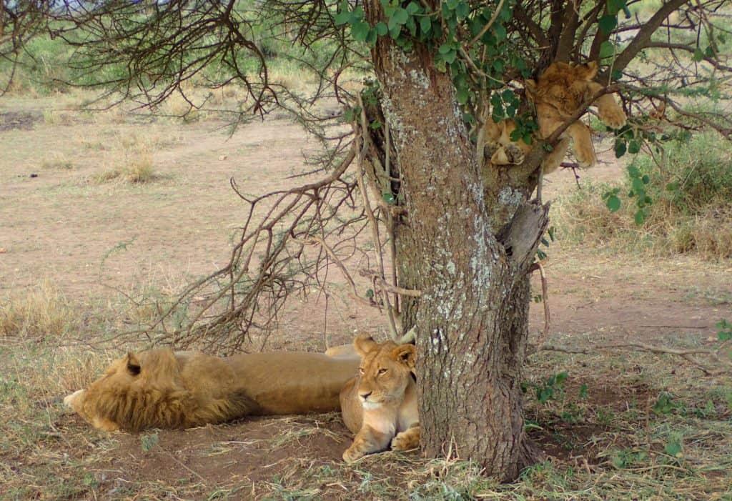 אריות - טיול ספארי בטנזניה