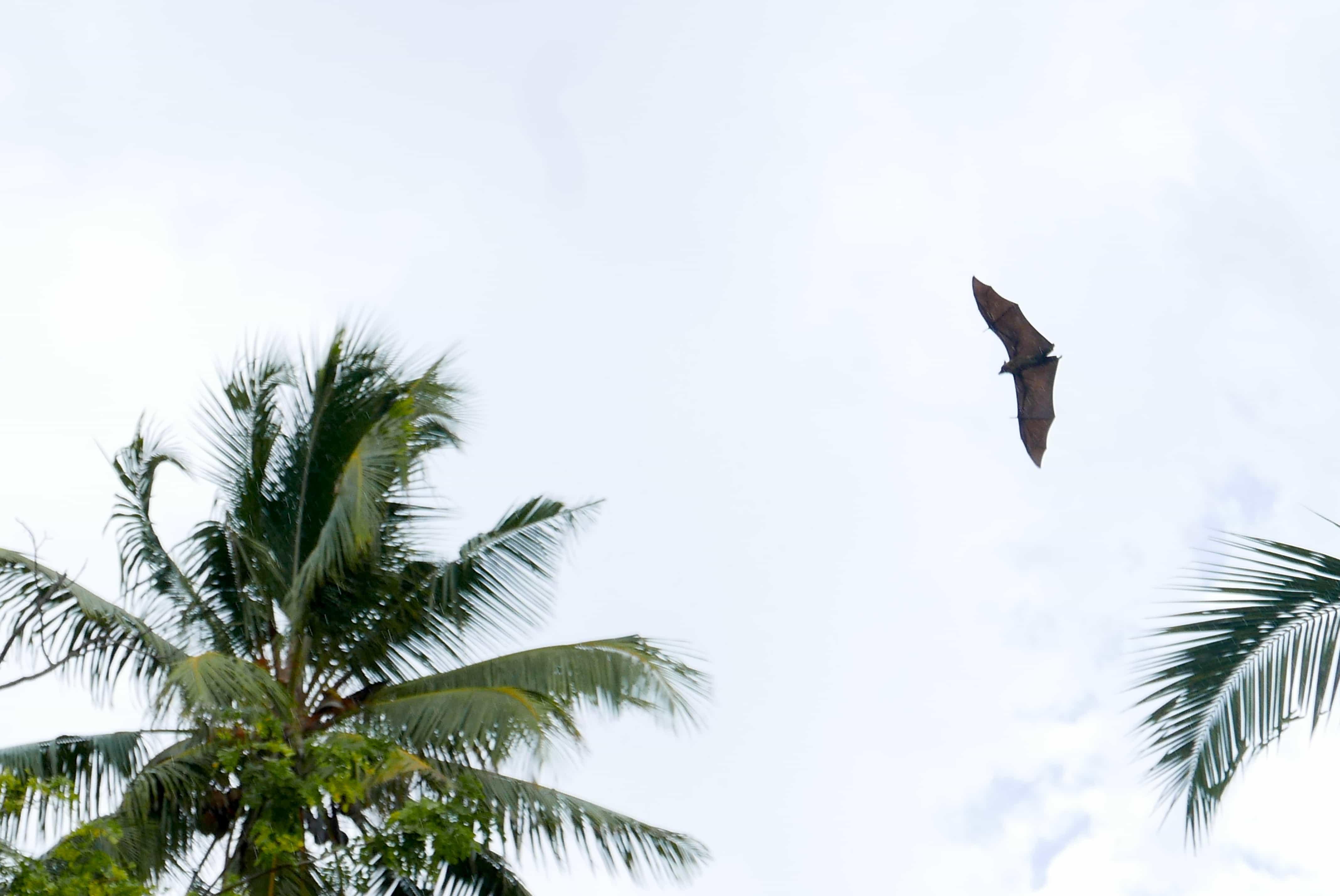 שועלים מעופפים מה לעשות באי מאפיה