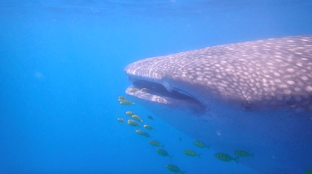 כריש לוויתן - האי מאפיה