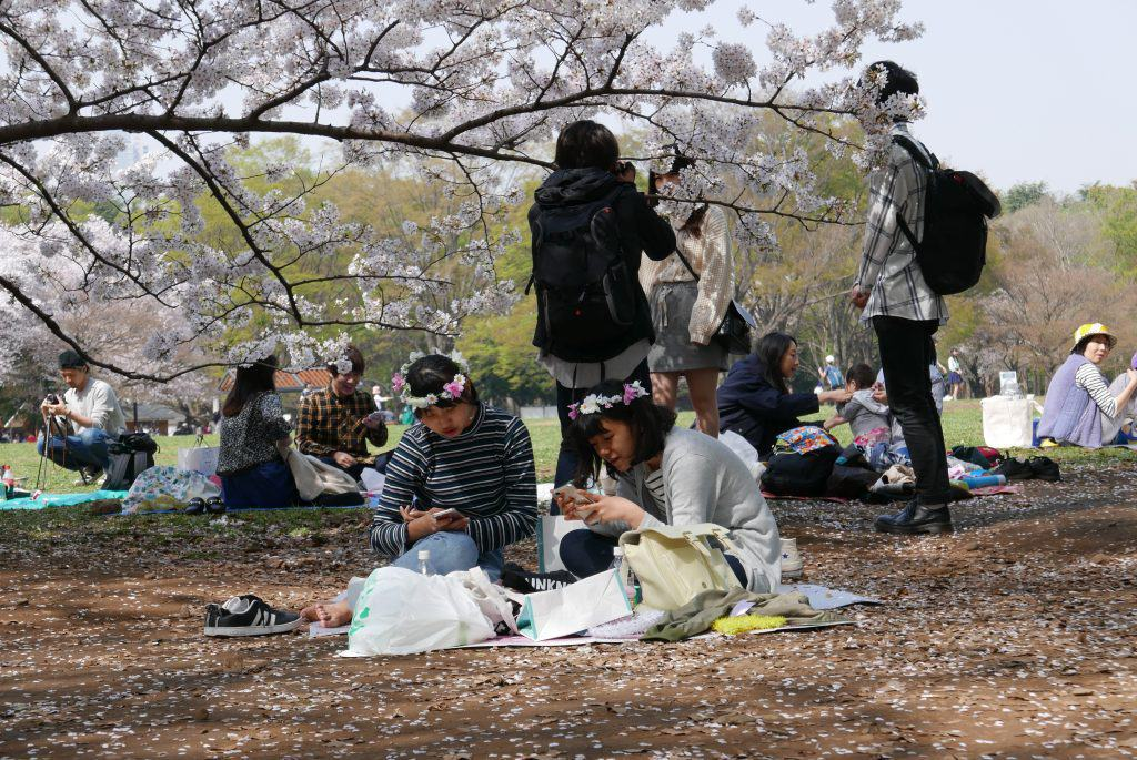 פארק יויוגי בטוקיו פריחת הדובדבן