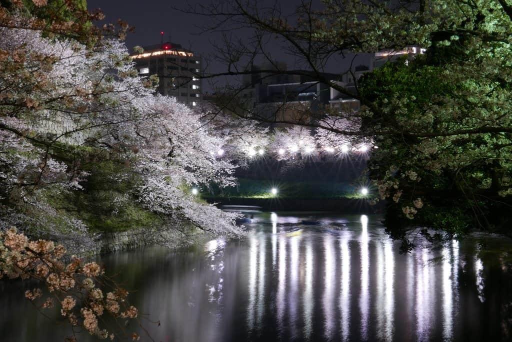 פריחת הדובדבן בלילה בטוקיו