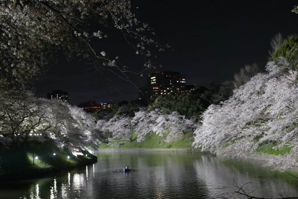 פריחת הדובדבן בטוקיו