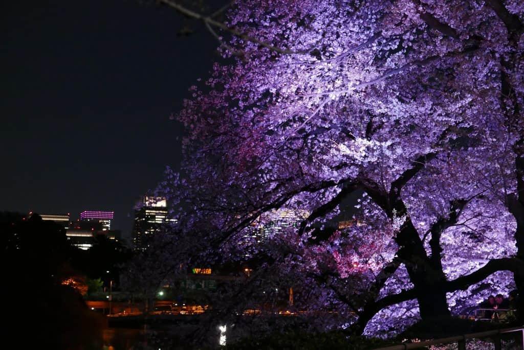 פריחת דובדבן בלילה ביפן
